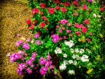 Lightroom 4 Retouched Photo Of Colorful Flower Bed