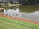 Original iPhone 5 Photo Of Geese Image 02-01